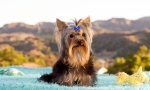 Yorkie Roses Pampered Pets